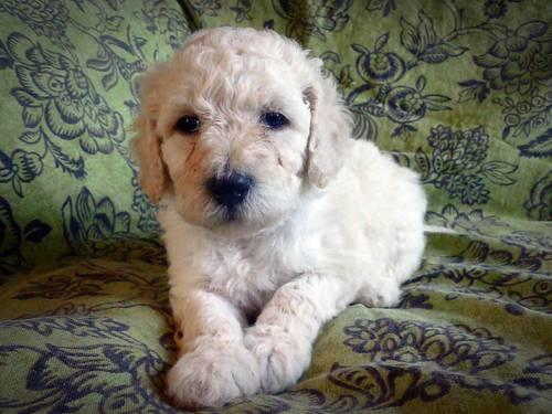 Standard Poodle Puppies Free Delivery For Sale In