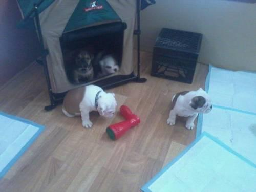 adorable English bulldog puppies -12 wks old