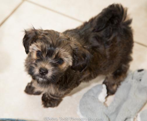 Beautiful Yorkie-poos -3 months