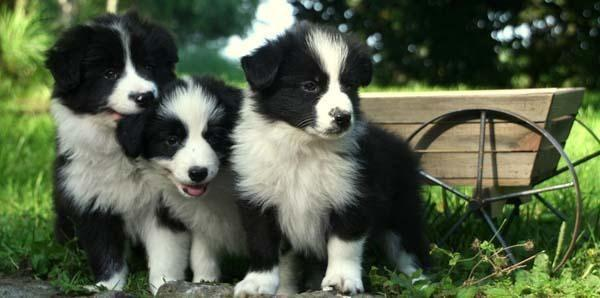Purebred Border Collie Puppies - 10 wks for Sale in Lisbon