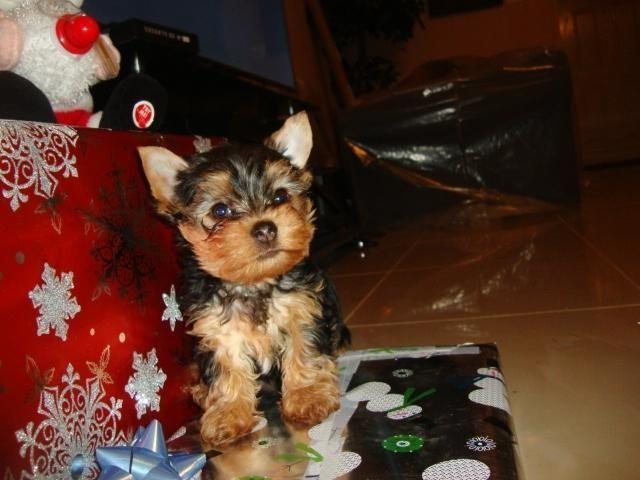 Cute, adorable yorkie puppy - 11 weeks