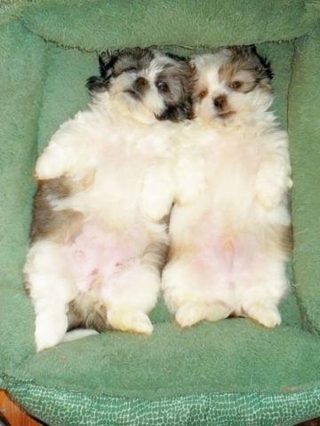 Shih - Tzu Puppies - 11 Weeks Old for Sale in Covington, Kentucky