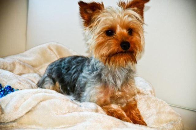 YORKIE SIRE AND DAM - 18 MONTHS OLD