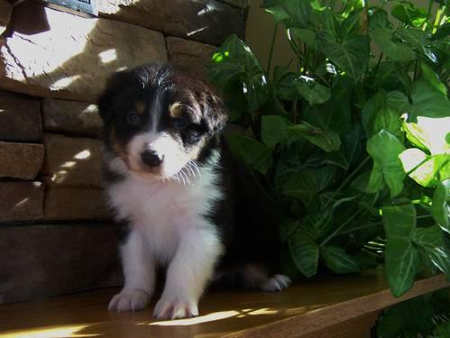 ASDR Australian Shepherds - 1 left!
