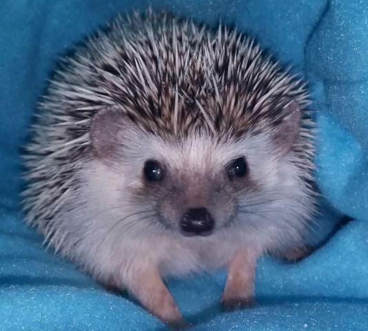 Cute Salt and Pepper Hedgehog for Adoption - 1 Year Old With Supplies!