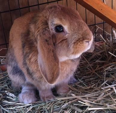 GORGEOUS Holland Lop Rabbit for Adoption - 2 yrs Old **LOOK