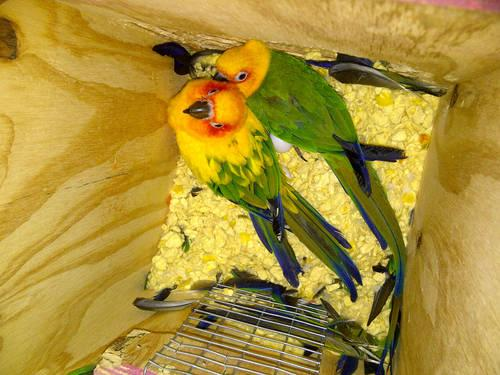 Pair of Conures - $400 OBO