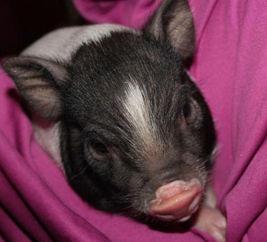 Mini Pigs- 3/4 Full blooded Juliana - $550 Ready for Christmas