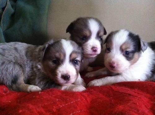 Toy Australian Shepard Puppy - 5 Weeks Old