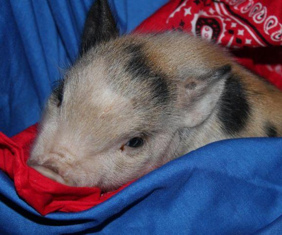 Mini Pigs- Full blooded Juliana - $600 Ready for Christmas