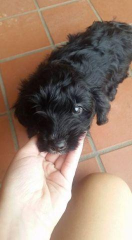 Female Yorkie Poo Puppy - 7 weeks old