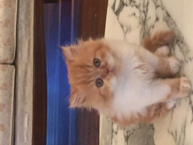 Persian long hair kittens - 8 1/2 weeks