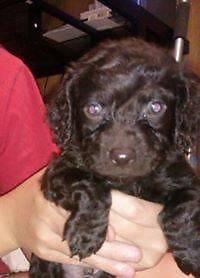 Male Boykin Spaniel Puppies - 8 Weeks Old