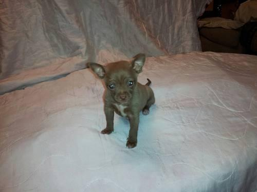 **Adorable Chihuahua Puppy for Sale** - 9 Weeks Old