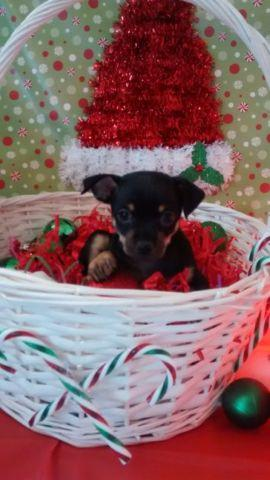 Tiny TEACUP Chihuahua Puppies - 9 weeks old for Sale in