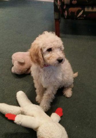 Goldendoodle Pups - Adorable!