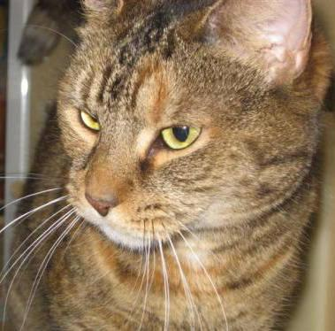 Domestic Short Hair - Sassy - Medium - Adult - Female - Cat