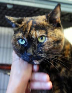 Domestic Short Hair - Latte - Small - Adult - Female - Cat