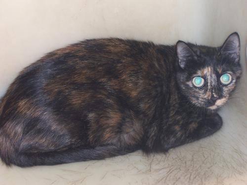 Domestic Short Hair - Jersey - Medium - Adult - Female - Cat