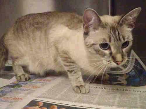 Domestic Short Hair - A480125 - Large - Adult - Female - Cat