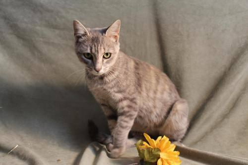 Dilute Calico - Helena - Medium - Adult - Female - Cat