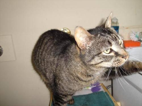 Tabby - Brown - Princess - Large - Adult - Female - Cat