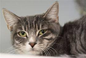 Tabby - Grey - Melly - Medium - Adult - Female - Cat