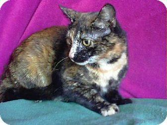 Domestic Short Hair - Patty - Large - Adult - Female - Cat