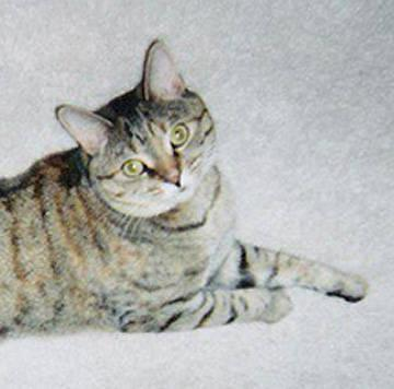 Tabby - Brown - Aaron/foster - Medium - Adult - Female - Cat