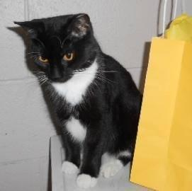 Domestic Short Hair - Fiona - Medium - Adult - Female - Cat