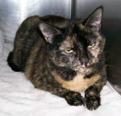 Domestic Short Hair - Silo - Large - Adult - Female - Cat