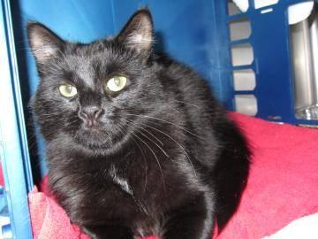 Domestic Medium Hair - Twila - Medium - Adult - Female - Cat