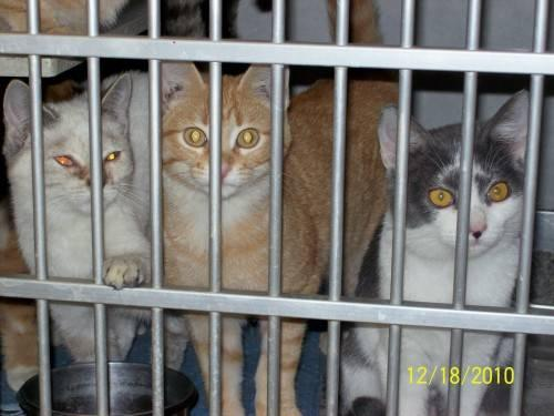 American Shorthair - Tabitha - Small - Adult - Female - Cat
