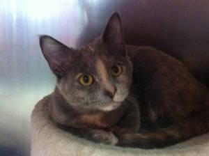 Domestic Short Hair - Stashie - Medium - Adult - Female - Cat