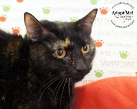 Domestic Short Hair - Kiki - Small - Adult - Female - Cat