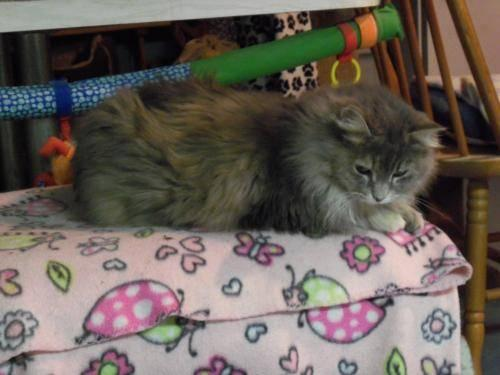Maine Coon - Autumn - Medium - Adult - Female - Cat