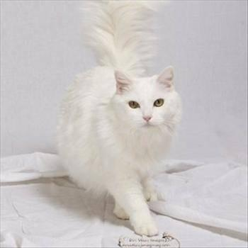 Domestic Long Hair - Cheryl - Large - Adult - Female - Cat
