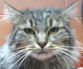Domestic Long Hair - Tatum - Medium - Adult - Female - Cat