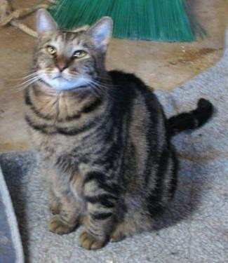 Domestic Short Hair - Bubbles - Large - Adult - Female - Cat