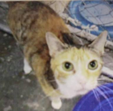 Domestic Short Hair - Kali - Medium - Adult - Female - Cat