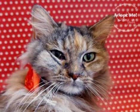 Domestic Medium Hair - Amellia - Small - Adult - Female - Cat