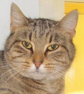Domestic Short Hair - Christine - Medium - Adult - Female - Cat