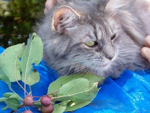 Domestic Long Hair - Chelsie - Medium - Adult - Female - Cat