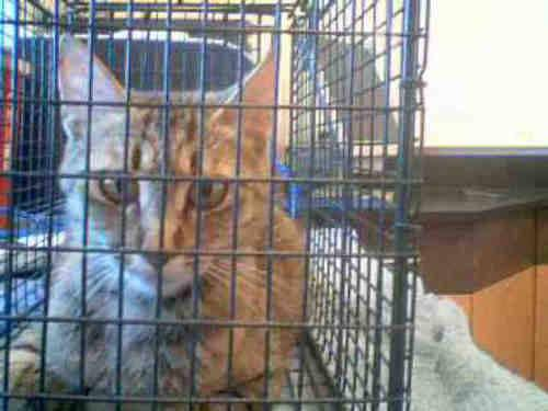 Domestic Short Hair - Daisy - Small - Adult - Female - Cat