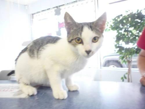 Domestic Short Hair - Lexie - Medium - Adult - Female - Cat