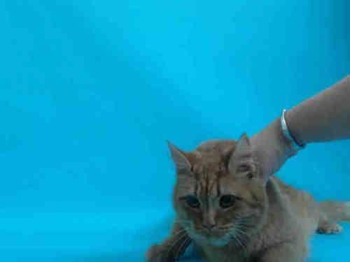Domestic Short Hair - Sunny - Medium - Adult - Female - Cat