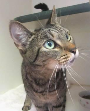 Domestic Short Hair - Mia - Medium - Adult - Female - Cat