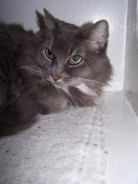 Domestic Long Hair - Mocha - Medium - Adult - Female - Cat