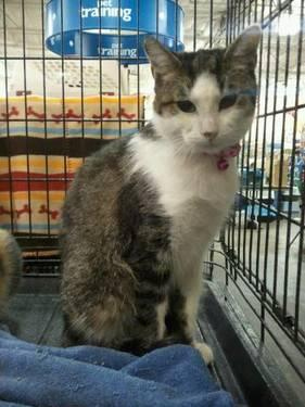 Domestic Short Hair - Jennifer - Small - Adult - Female - Cat