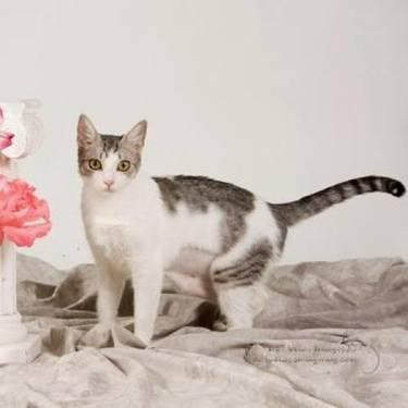 Domestic Short Hair - Diva - Medium - Adult - Female - Cat